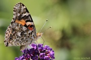 9th Aug 2012 - Painted Lady (corrected)
