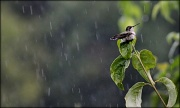 10th Aug 2012 - Humming in the rain