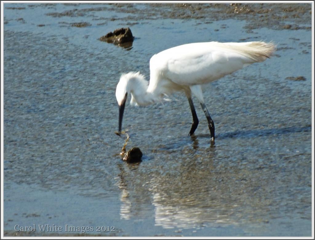 Little Egret-2(juvenile) by carolmw