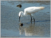 11th Aug 2012 - Little Egret-2(juvenile)