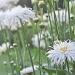 leucanthemum by jantan