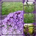 buddleia collage by sarah19