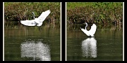 13th Aug 2012 - Coming in........great white egret.