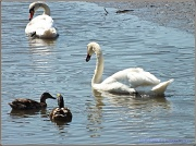 """14th Aug 2012 - """"Those Swans Think They're So Upper Class!"""""""