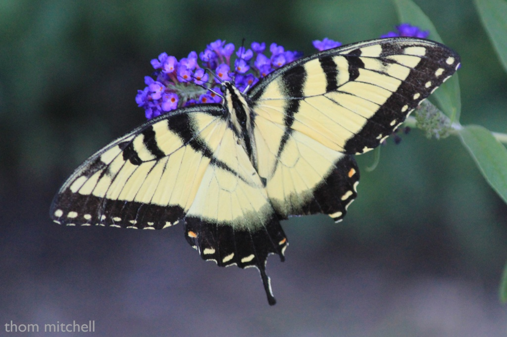 "Eastern Tiger Swallowtail (""dorsal"" view) by rhoing"
