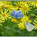Common Blue butterfly by janturnbull