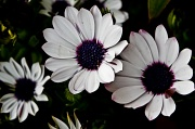 15th Aug 2012 - African dasies