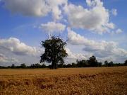 15th Aug 2012 - Corn field...