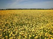 16th Aug 2012 - Chrysantheum  coronarium