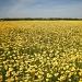Chrysantheum  coronarium by pyrrhula