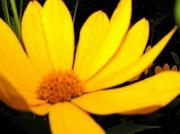 17th Aug 2012 - Golden petals ...