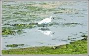 19th Aug 2012 - Little Egret