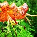 Tiger lily by bruni