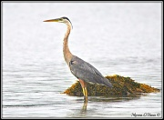 18th Aug 2012 - Great blue heron, waiting for dinner !!!!