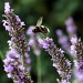 Bee and Lavender : 2 by phil_howcroft
