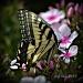 butterflies & blossoms by mjmaven