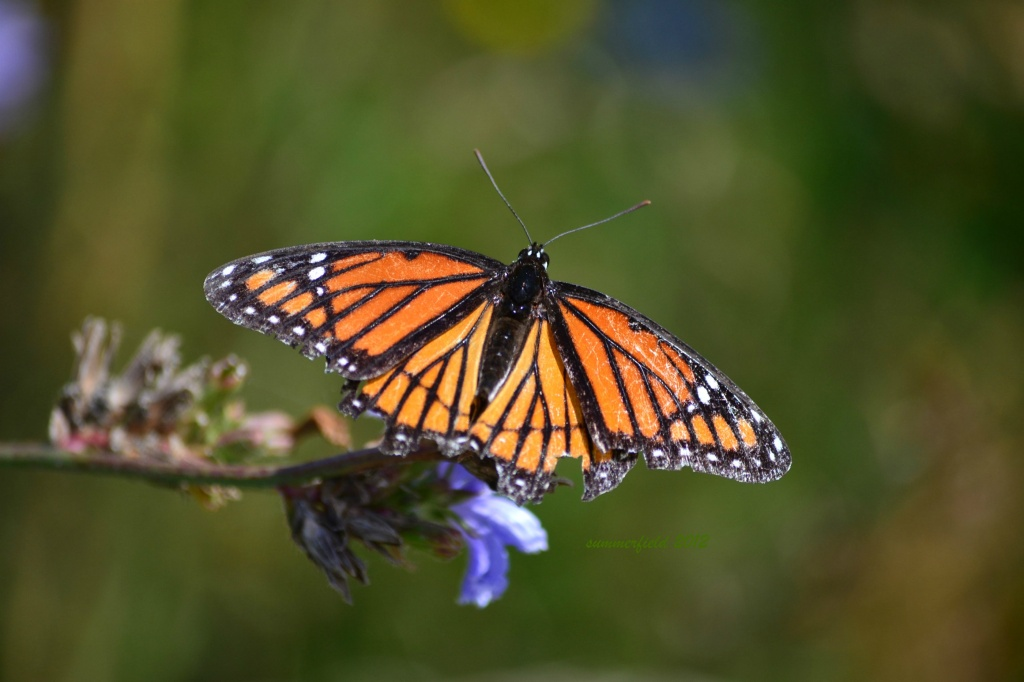 the monarch by summerfield