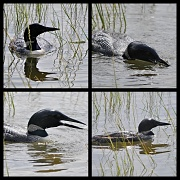 21st Aug 2012 - Dinner for a Loon