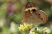 20th Aug 2012 - Almost-ventral Common Buckeye
