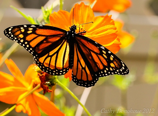 Monarch by cdonohoue