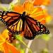 Monarch by cdonohoue