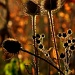 Thistle by jayberg