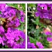 23/08/2012 - Hummingbird Moth, Two Views