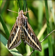 22nd Aug 2012 - White-lined Sphinx