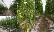 23rd Aug 2012 - Into a greenhouse. ( Growing tomato`s )