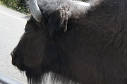 9th Jul 2012 - buffalo getting too close
