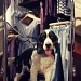 Hey mum- there's a handsome dog in this shop... by judithg