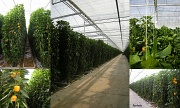 24th Aug 2012 - Into a greenhouse .Growing pepers