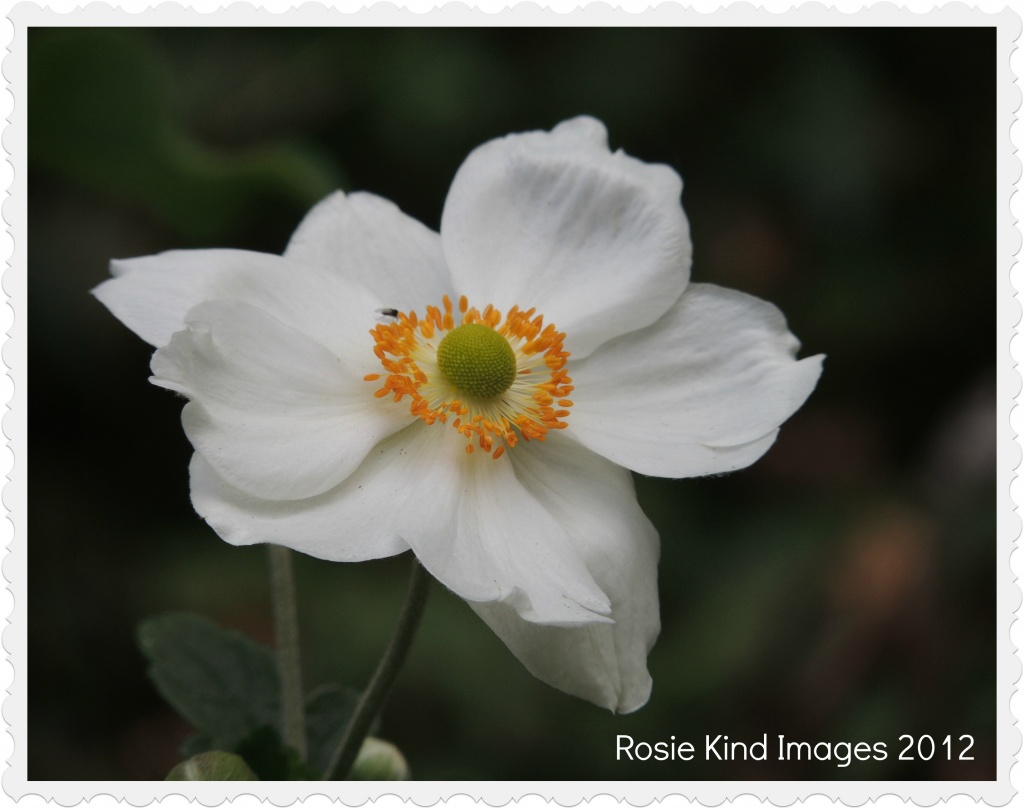 Japenese Anemone - a white one this time by rosiekind
