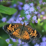 23rd Aug 2012 - Pearl Crescent (sigh)