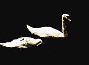 9th Jul 2010 - Two Swans