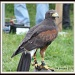 Falcon by rosiekind