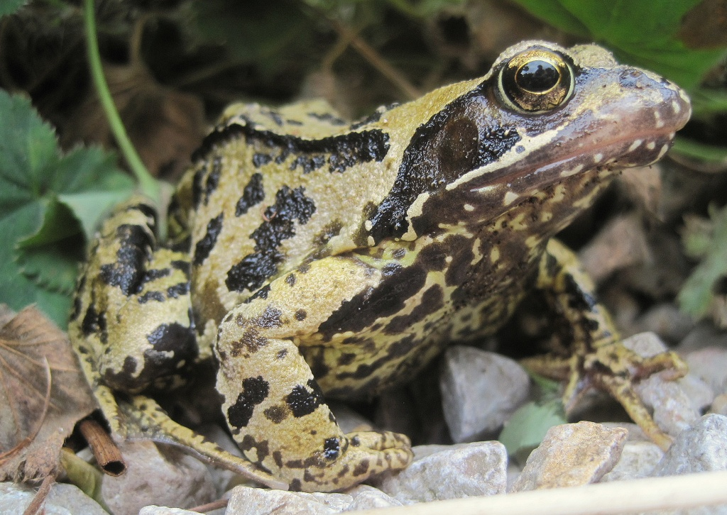 Day 2: Yellow - a dear little common frog  by quietpurplehaze