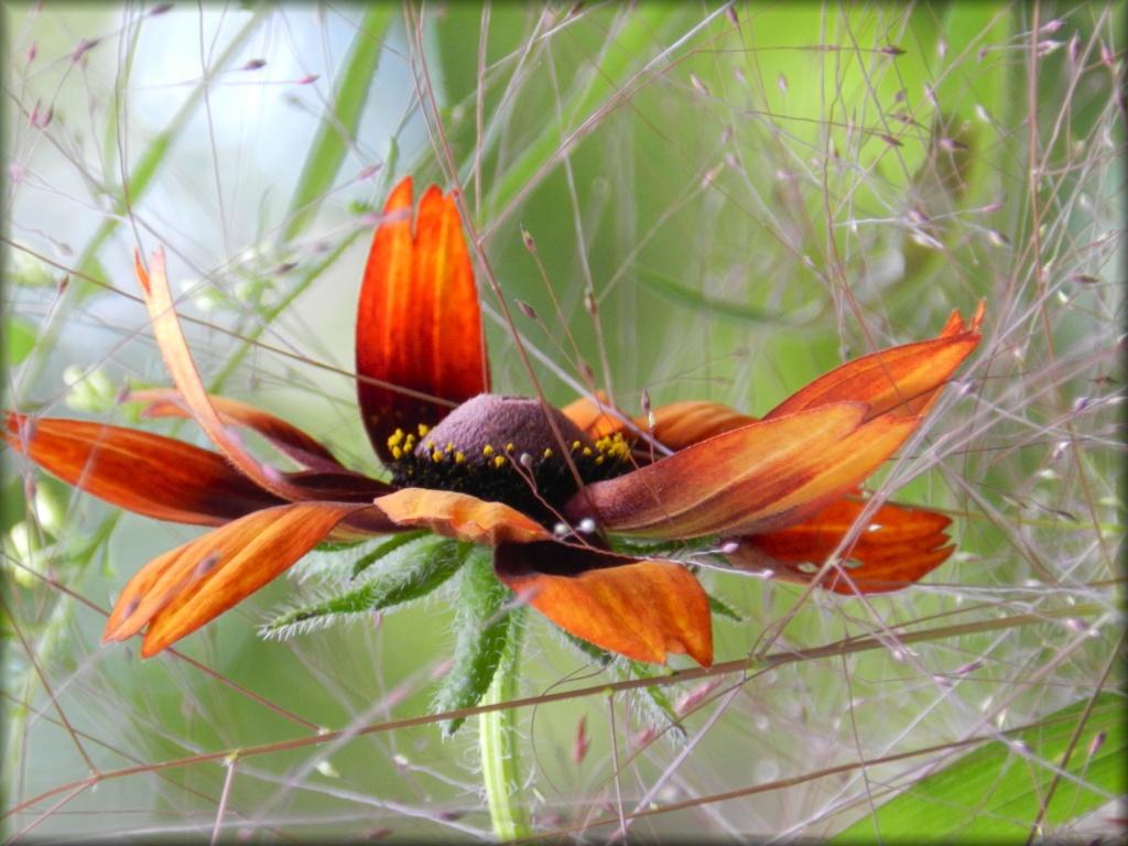 Rudbeckia Flurry by paintdipper