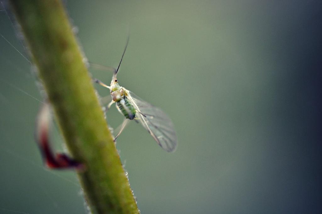 Greenfly. by naomi