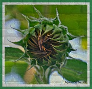 28th Aug 2012 - Almost ready !! (Sunflower bloom)