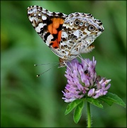 28th Aug 2012 - Painted Lady