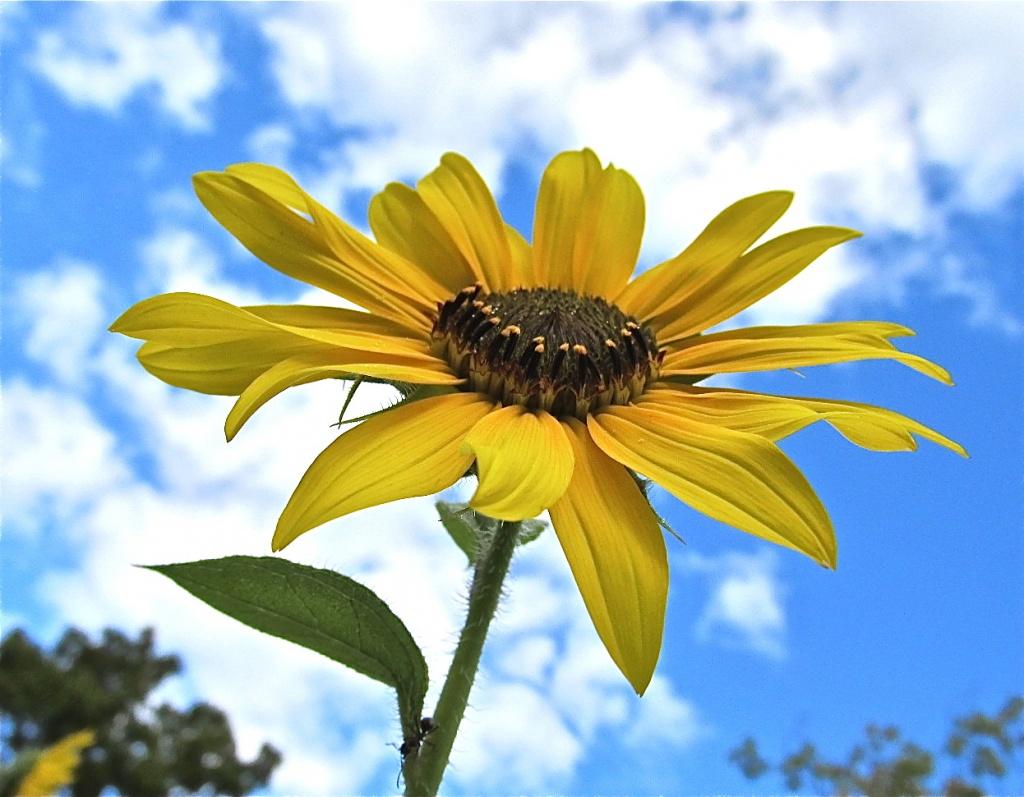 Sunflower 6224c by houser934