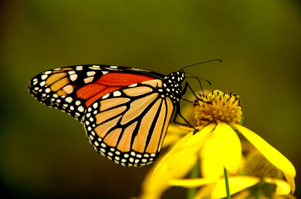 butterfly by pfmandeville
