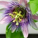 Passion flower by dora