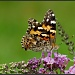 The Painted Lady by tskipper