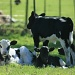 Baby Cow Herd by wenbow
