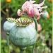 Poppy Heads by carolmw