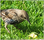 31st Aug 2012 - Young Starling