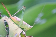 30th Aug 2012 - Short-winged Meadow Katydid