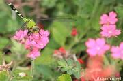 31st Aug 2012 - Eastern Pondhawk (female)